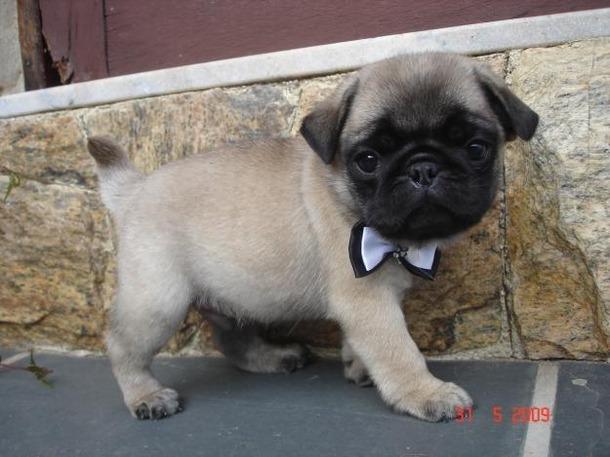 File:Favim.com-awn-cute-dog-filhote-pug-336686.jpg