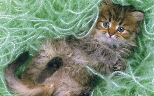 File:Cute can lying in green wool xD.jpg