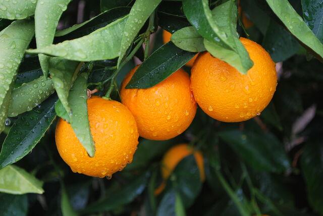 File:Orange fruits.jpg