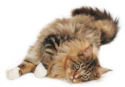 File:Fluffy maine coon-910.jpg