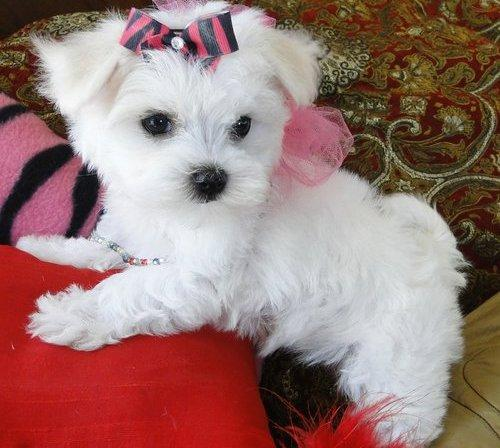 File:1350909976 448905887 1-Pictures-of--Teacup-Maltese-Puppies-Available.jpg