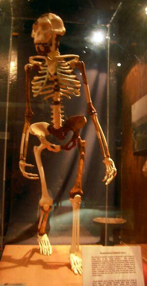 Lucy - Addis National Museum.jpg