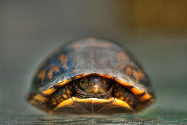 File:800px-Baby Turtle.jpg