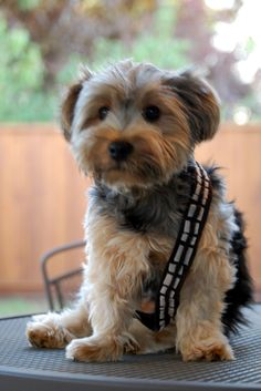File:StarWarsChewPuppy.jpg