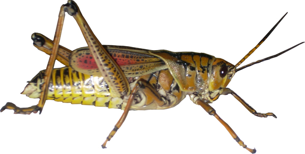 File:Grasshopper.png