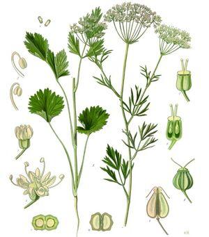Koehler1887-PimpinellaAnisum