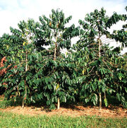 Hawaiian Coffee trees