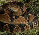 Serpiente de cascabel muda