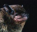 Murciélago pardo