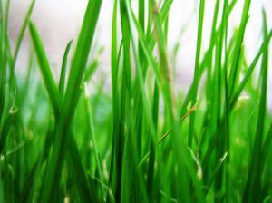 1049652 grass stalks