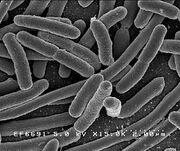 E. coli 1