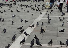 Pigeons Duomo Florence 550 l