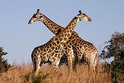 File:250px-Giraffe Ithala KZN South Africa Luca Galuzzi 2004.jpg
