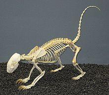 File:220px-Hog-nosed Skunk Skeleton.jpg