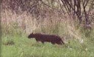 Beast of Exmoor