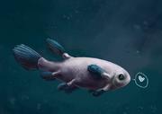 Coelacanth cutie