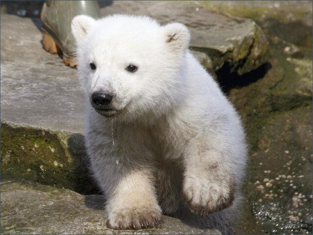 File:1030-animals polar bear wallpaper.jpg