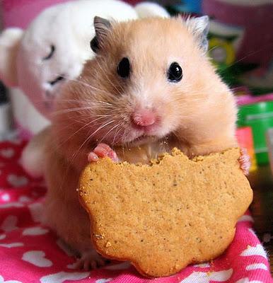 File:Cute-Hamster-2.jpg