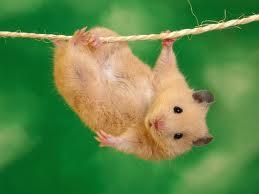 File:Hamster.jpg