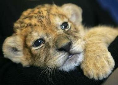 File:Lion-cub.jpg