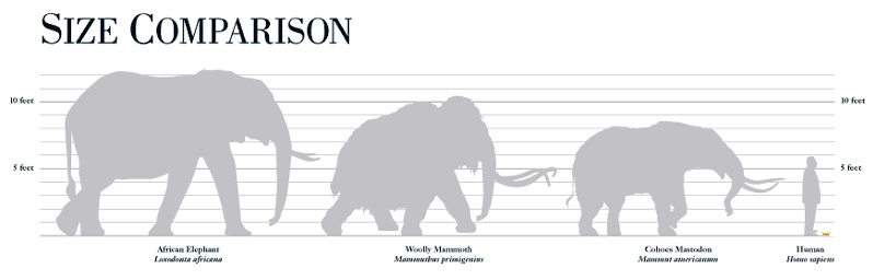 the close resemblance between woolly mammoth to todays elephants As of mid-2017, the woolly mammoth's genome has been sequenced, as has the asian elephant genome the difference between the two genomes has been shown to consist of 14 million mutations, accounting for 004% of the genome.