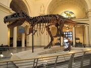 Tyrannosaurus Sue