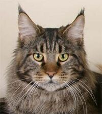 Maine coon cat 2