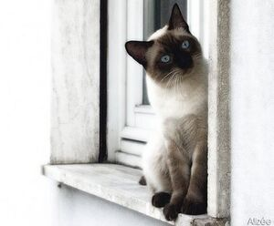 Traditional Siamese