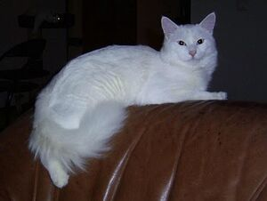 Turkish Van at night
