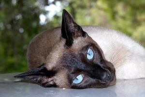 Siamese cat lying