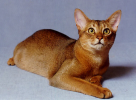Abyssinian cat 2