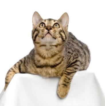 File:A Bengal cat.jpg
