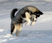 Siberian-Husky-1
