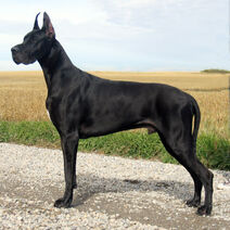 3180-black-great-dane-dog