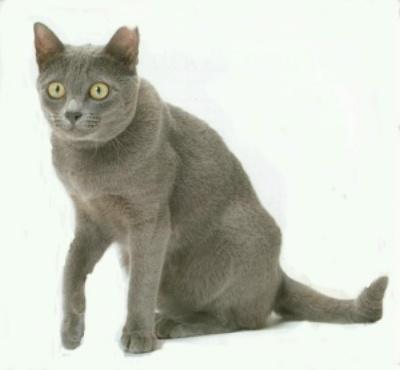 File:Korat cat 2.jpg