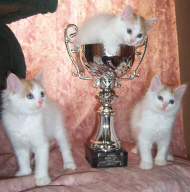 Turkish Van winners