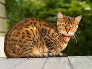 Bengal cat 3