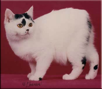 File:Manx cat.jpg