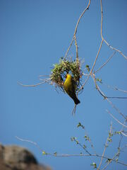 Weaver and Nest