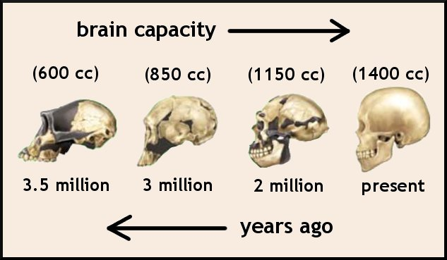brain evolution in the human species Evolution of the brain in humans – paleoneurology figure 1 a dorsal view of a cast of a modern human figure 1 a dorsal view of a cast of a modern human brain and its accompanying endocast.