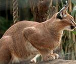 Animals feline caracal wild cat desktop 1920x1200 hd-wallpaper-818365