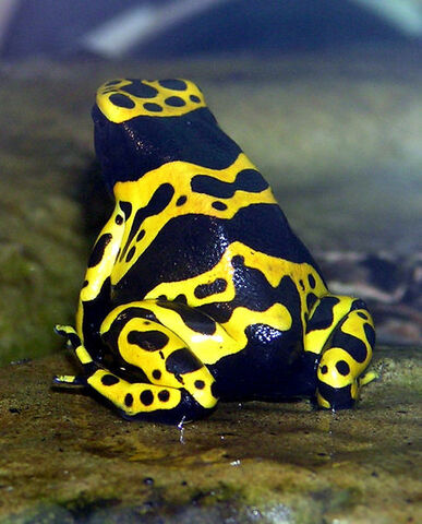 File:Yellow-banded.poison.dart.frog.jpg