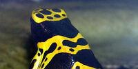 Poison Dart Frog (3.5e Monster)