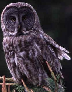 File:Great Grey Owl.jpg