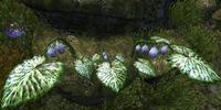 Alocasia Fruit