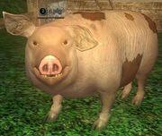A pig (Antonica)