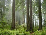 284px-Redwood National Park, fog in the forest