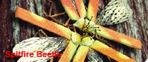 File:Spitfire beetle.png