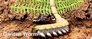 Garden worm