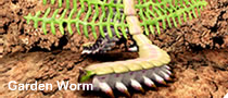 File:Garden worm.png